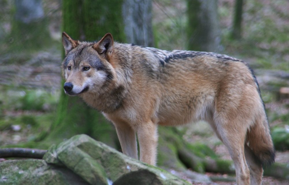 Loup : un rapport montre ses dents