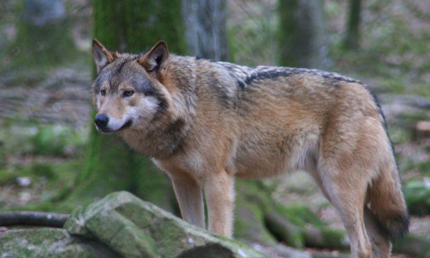 Loup : un rapport montre ses dents