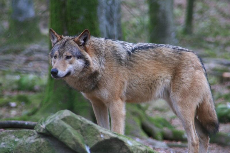 Loup : l'Ipra au secours des éleveurs de la vallée de Chamonix